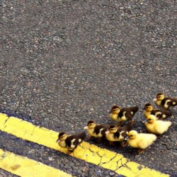 Woman stops car to save ducklings, faces life imprisonment!