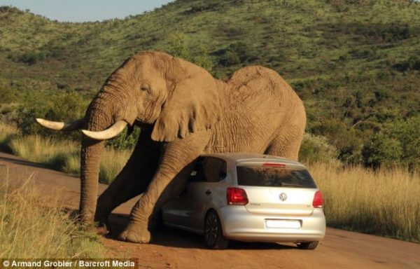 Elephant-plays-with-VW-Polo-Image-1