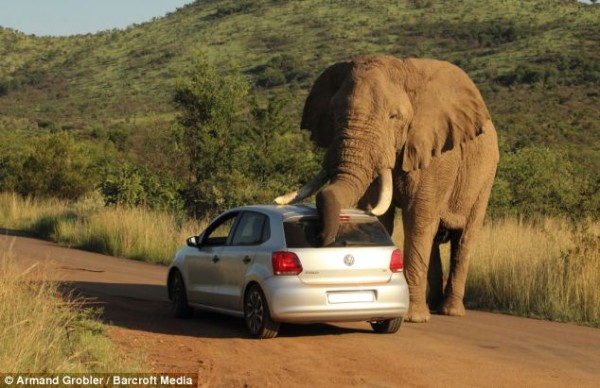Elephant-plays-with-VW-Polo-Image-3