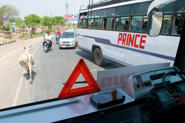 cow on indian roads