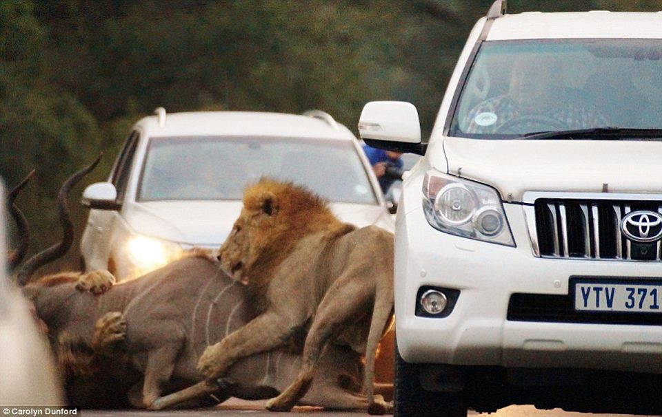 Lions kill dear in sight of tourists-3