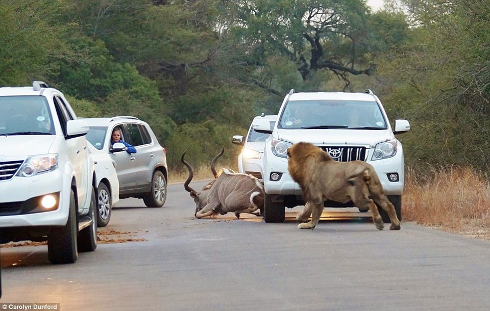 Lions kill dear in sight of tourists-5