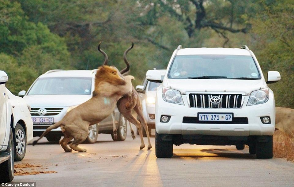 Lions kill dear in sight of tourists-7