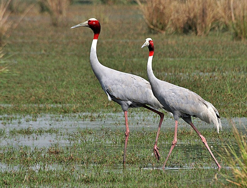 Sarus_Crane_at_Sultanpur - TVS Road Trip