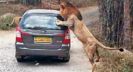Two Lions Attack Vehicle in Bannerghatta, Karnataka