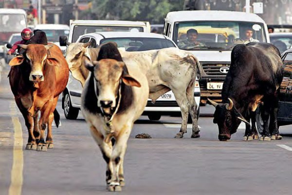 animals-on-indian-roads-600x401