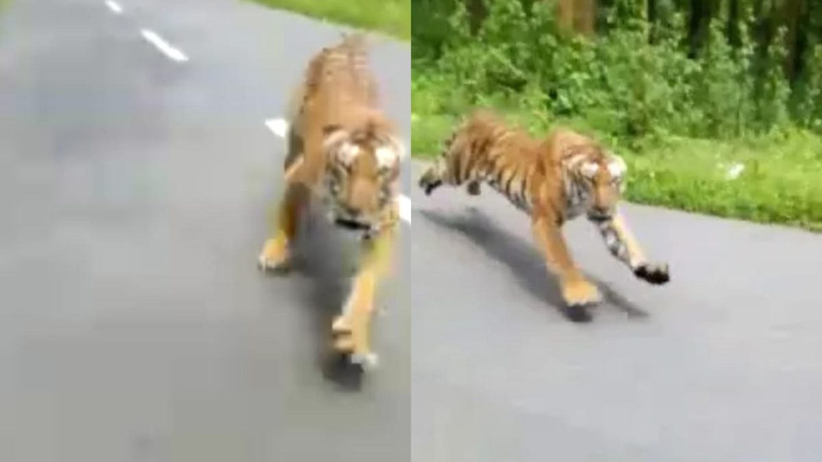 Tiger charges 2 people on a bike featured