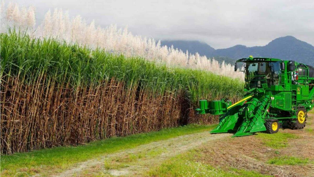 Sugarcane #1